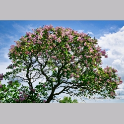 Mackinac Lilacs