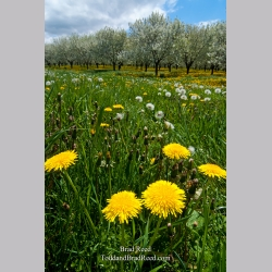 Dandelions and Fruit Trees (6303)