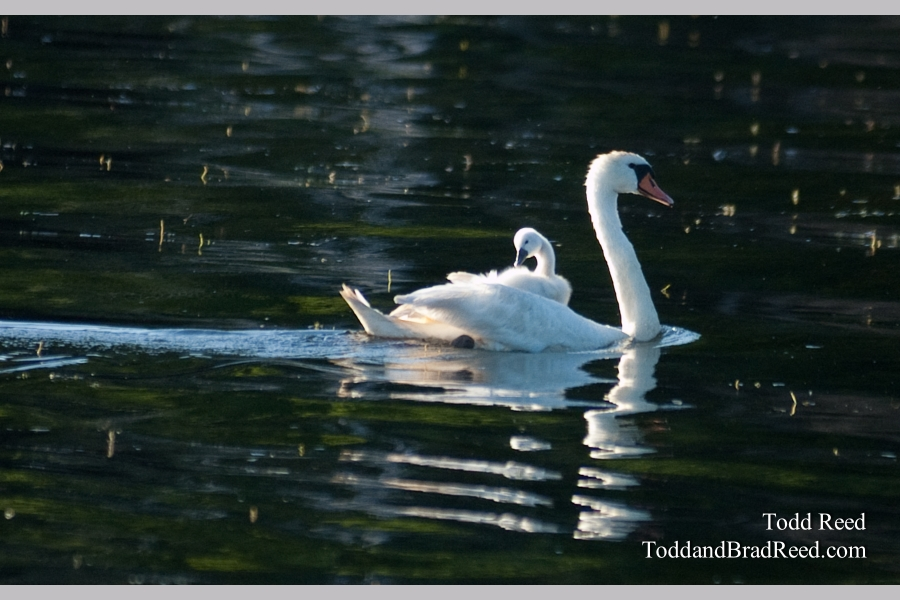 Swan Carring Baby on Back (3349)